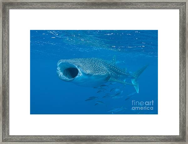 Whale Shark, Ari And Male Atoll Framed Print