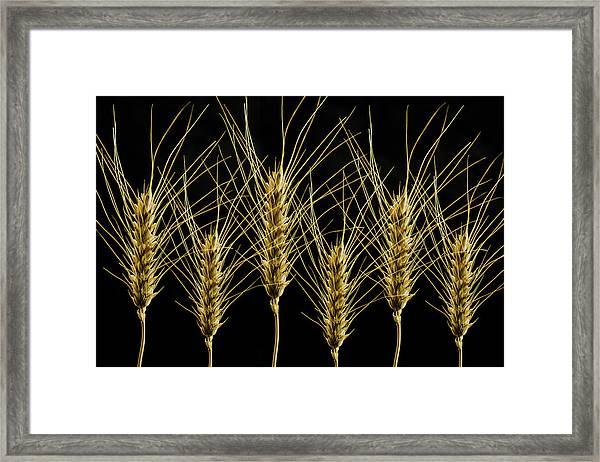 Wheat In A Row Framed Print