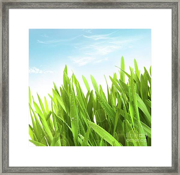 Wheatgrass Against A White Framed Print