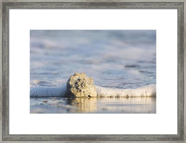 Whelk In Surf Two Framed Print