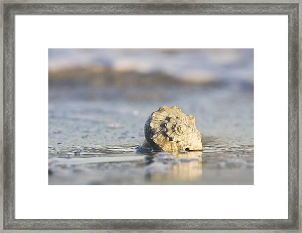 Whelk Shell In Surf Framed Print