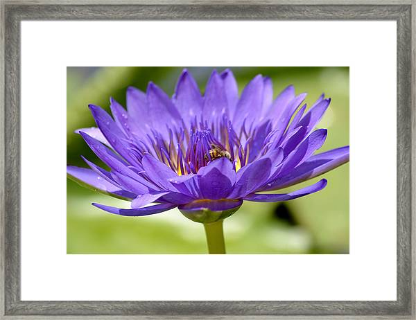 When The Lily Blooms Framed Print