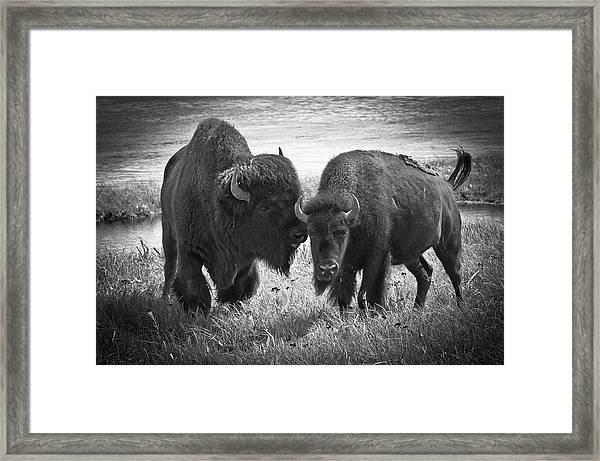 Whispering Bison Framed Print