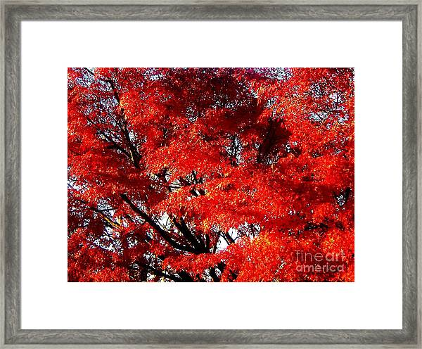 Whispers Of A Japanese Maple Framed Print by Juliette Carter-MarShall