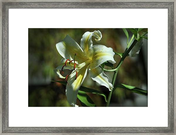 White And Yellow Asiatic Lilly No 1 Framed Print