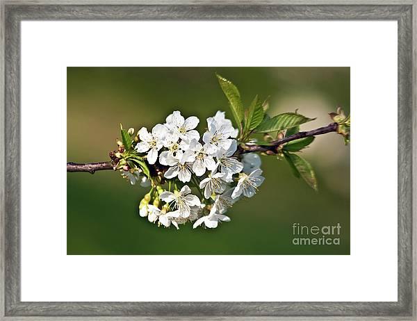 White Apple Blossoms Framed Print