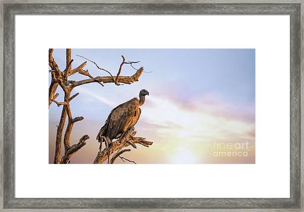 White-backed Vulture At Sunset In Kruger National Park Framed Print