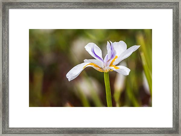 White Beardless Iris Framed Print
