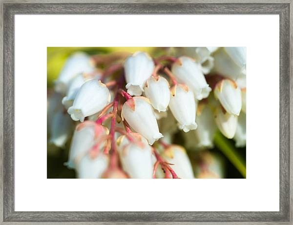 White Bells Framed Print