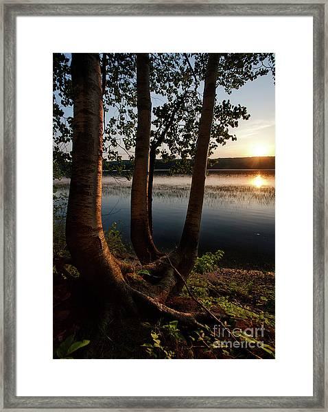 White Birch And Kennebec River At Sunset, South Gardiner, Maine  Framed Print