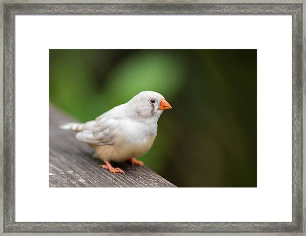 White Bird Standing On Deck Framed Print