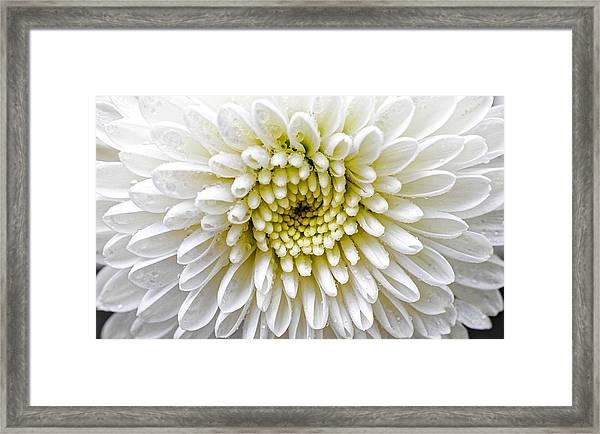 White Dew - Chrysanthemum Framed Print