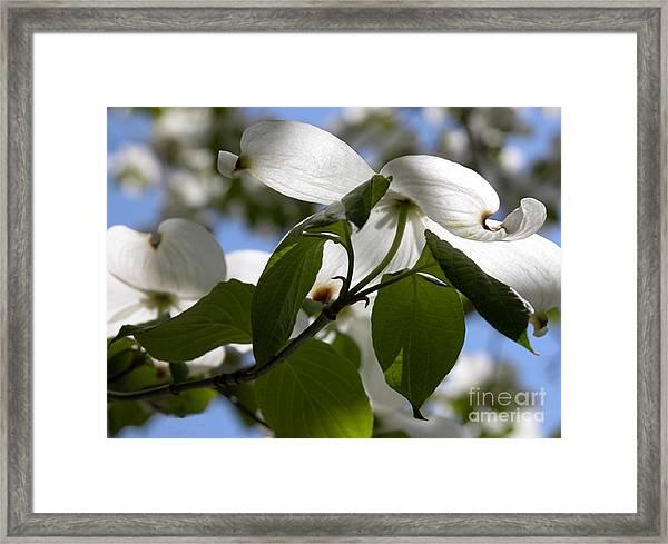 White Dogwood Framed Print