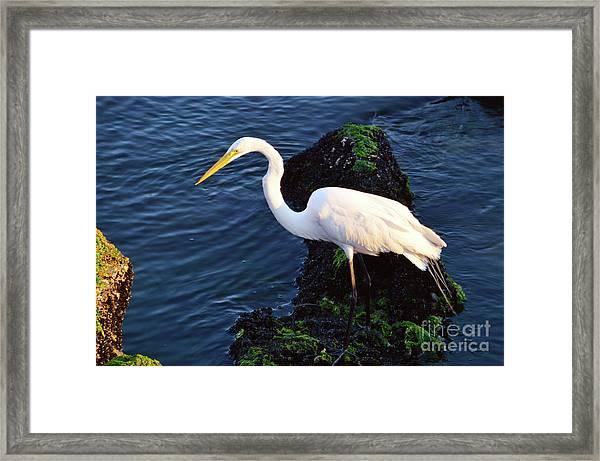 White Egret At Sunrise - Barnegat Bay Nj  Framed Print