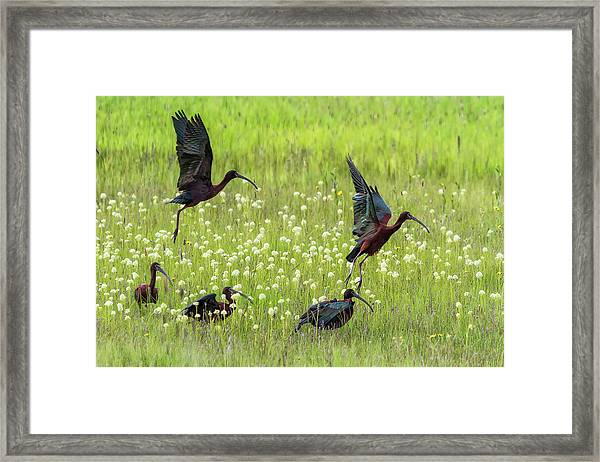 White-faced Ibis Rising, No. 1 Framed Print