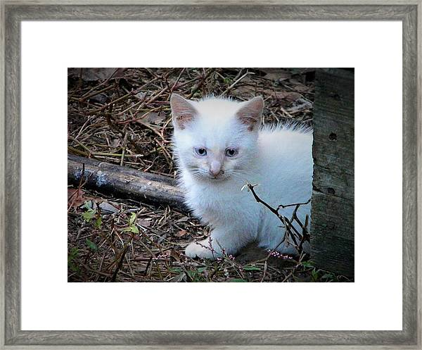 White Feral Kitten Framed Print