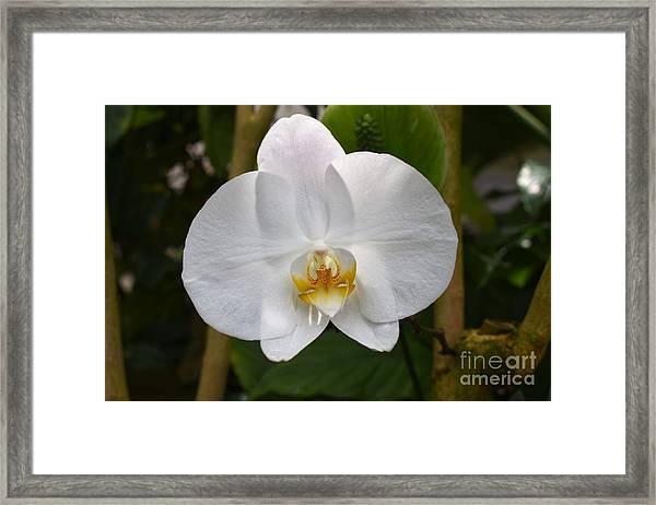Phalaenopsis Sanderiana Framed Print