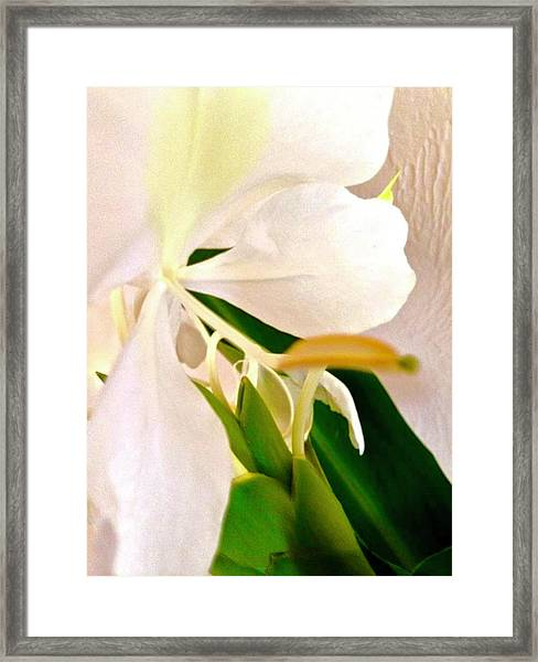 White Ginger Close Up Abstract Framed Print
