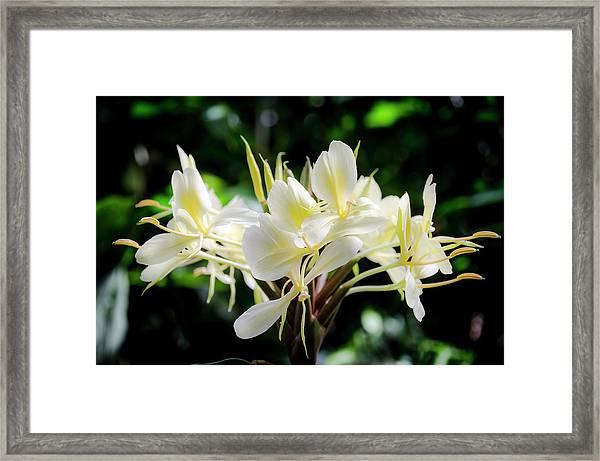White Hawaiian Flowers Framed Print