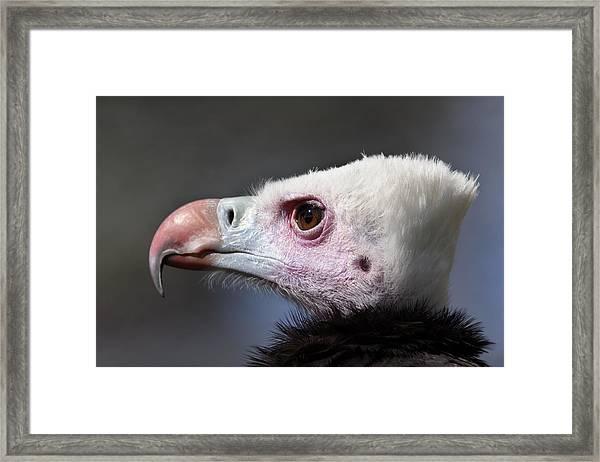 White-headed Vulture Portrait Framed Print