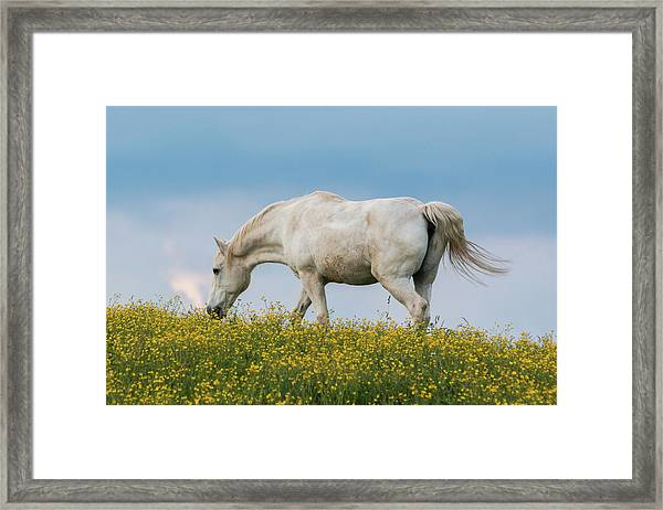 Framed Print featuring the photograph White Horse Of Cataloochee Ranch 2 - May 30 2017 by D K Wall
