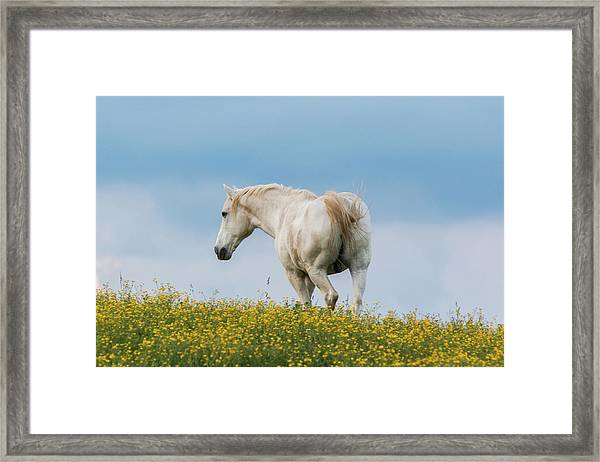 Framed Print featuring the photograph White Horse Of Cataloochee Ranch - May 30 2017 by D K Wall