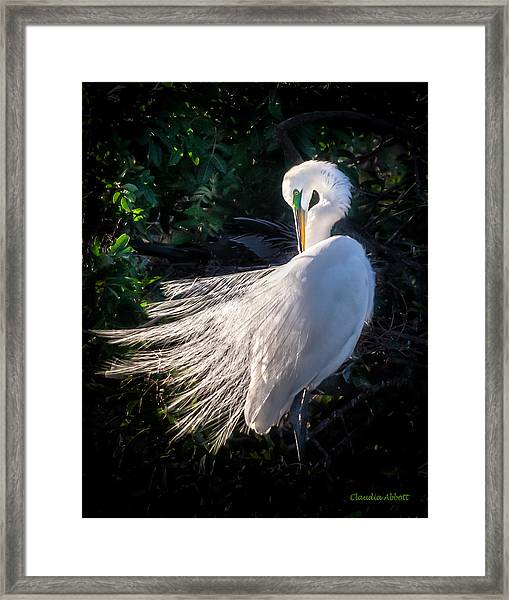 Framed Print featuring the photograph Egret In Wedding Feathers by Claudia Abbott