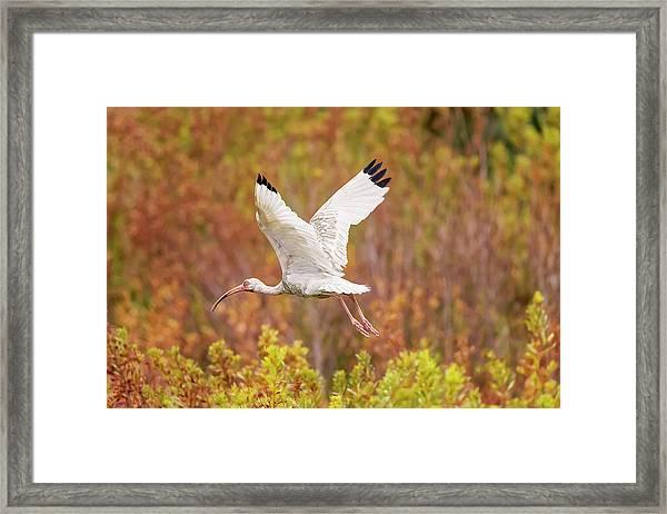 White Ibis In Hilton Head Island Framed Print