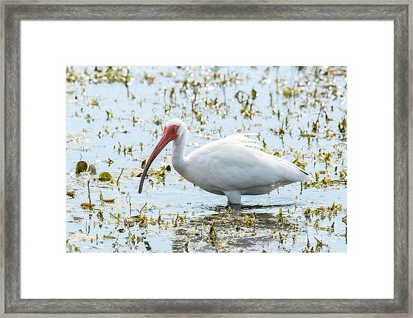 White Ibis Framed Print