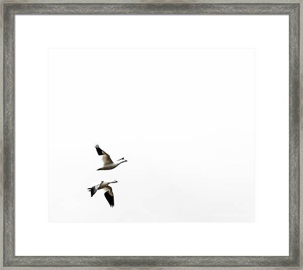 White In Flight Framed Print