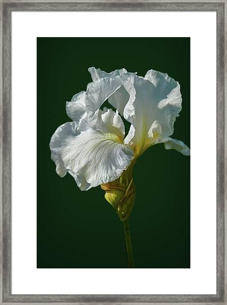 White Iris On Dark Green #g0 Framed Print