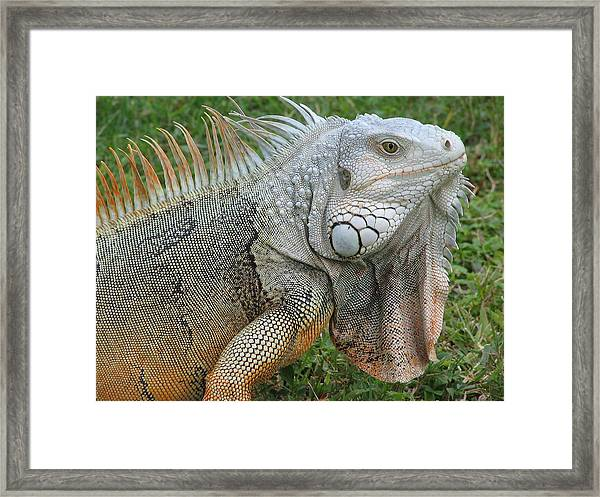 White Lizard Framed Print