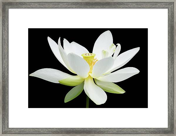 White Lotus On Black Framed Print