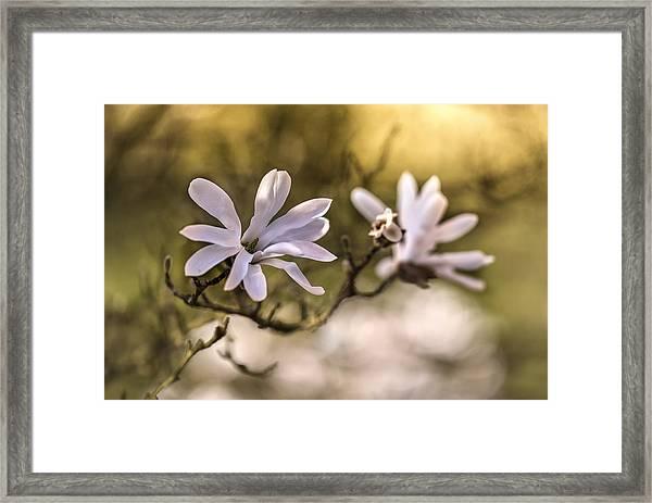 White Magnolia Framed Print