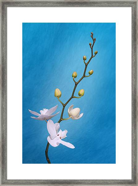 White Orchid Buds On Blue Framed Print