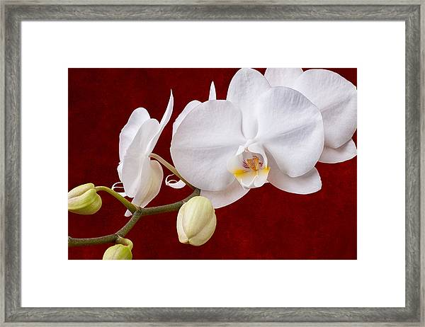White Orchid Closeup Framed Print