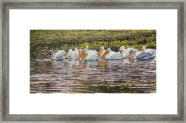 White Pelican Parade Framed Print