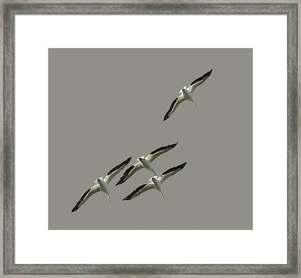 White Pelicans Transparency Framed Print