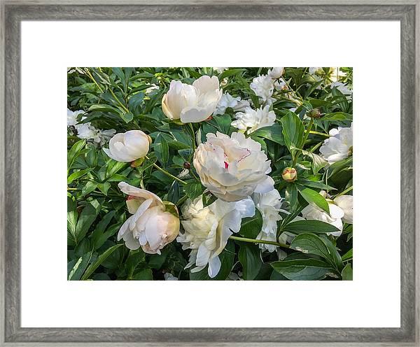 White Peonies In North Carolina Framed Print