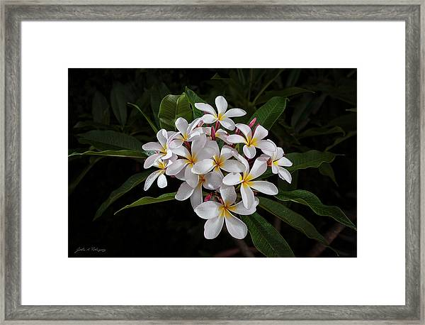 White Plumerias In Bloom Framed Print