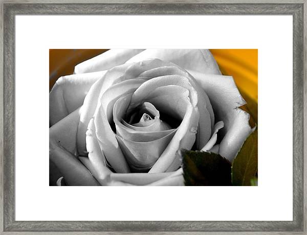 White Rose 2 Framed Print