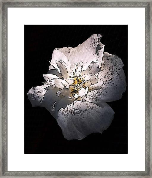 White Rose Of Sharon Framed Print