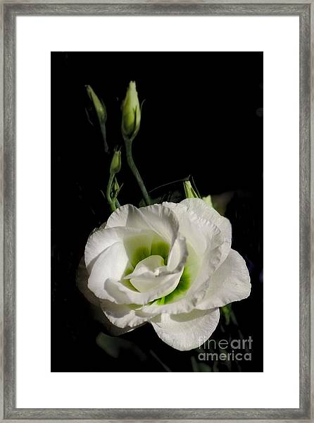 White Rose On Black Framed Print