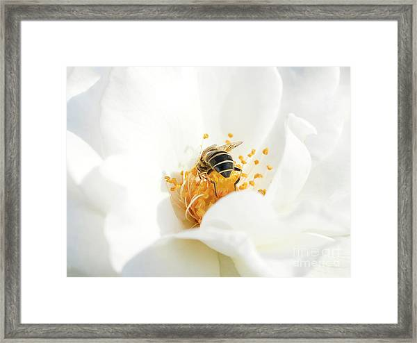 Looking For Gold In A White Rose Framed Print