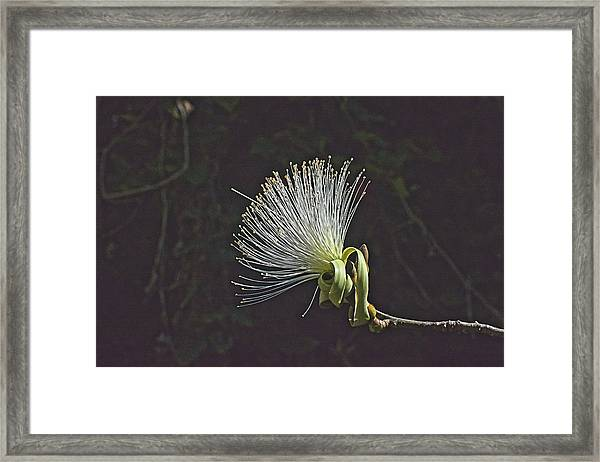 White Shaving Brush Pseudobombax Flower Framed Print