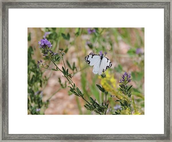 White-skipper On Lupine Framed Print