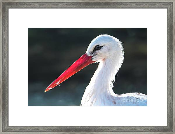 White Stork Framed Print