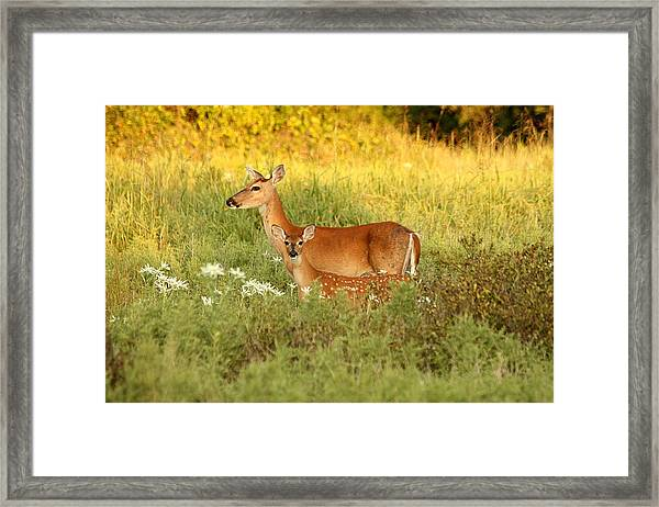 White-tail Doe And Fawn In Meadow Framed Print