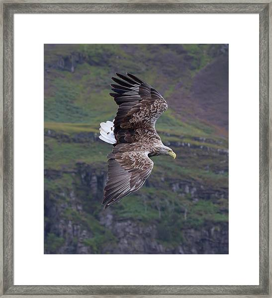 White-tailed Eagle Banks Framed Print