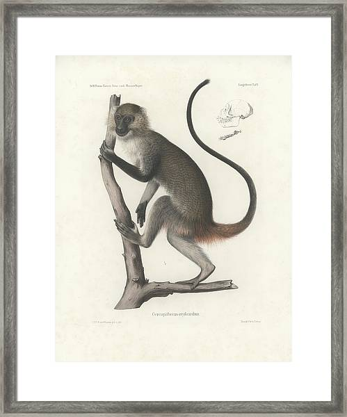 Framed Print featuring the drawing White Throated Guenon, Cercopithecus Albogularis Erythrarchus by J D L Franz Wagner
